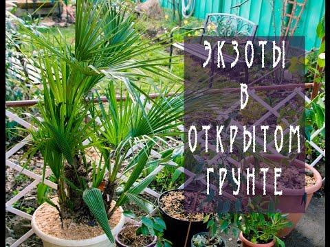 Экзоты в открытом грунте / Пальмы  / Exotic plants in open ground / Palm trees