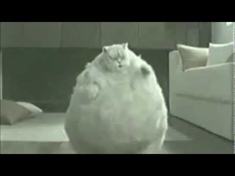 OMG REALLY CUTE FAT CAT DANCING - YouTube