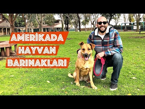 Amerika'da Hayvan Barınakları: Nasıl Hayvan Sahiplenilir? Pitbull Terrier, German Shepherd