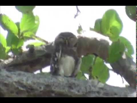 Endemic Forest Owlet Athene blewitti Or Heteroglaux blewitti The Nest & Habita near Malur Forest
