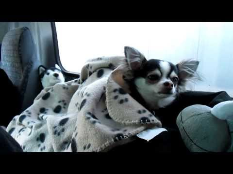 Spike the Chihuahua Traveling