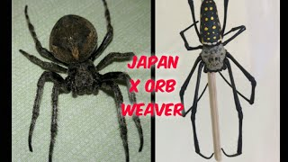 Japan and Australian Golden Orb Weaver spider - Go all out