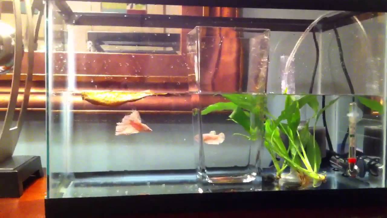 My betta spawning breeding tank setup youtube for Fish breeding tank