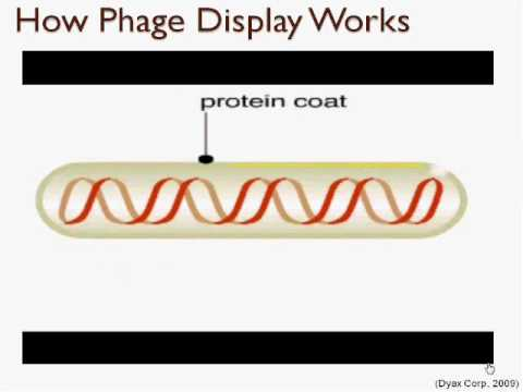 Phage display method