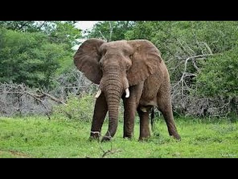 Angry Wild Elephant Attacks Car Kill One & Rolls The Car