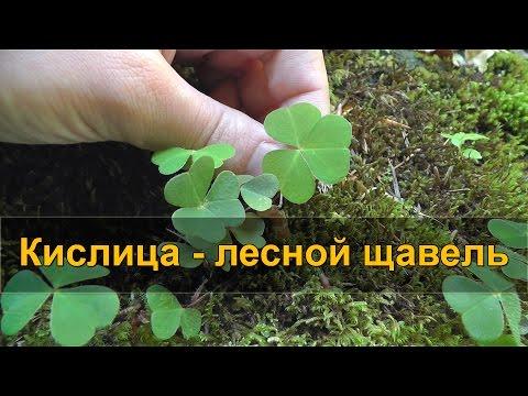 КИСЛИЦА - лесной щавель (заячья капуста)