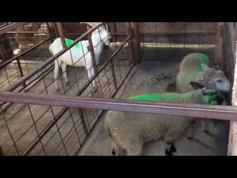 Livestock Auction, Ontario, Canada | Part 1