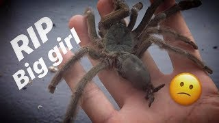 One of my favourite PET tarantula DIED ON MY BIRTHDAY !!! ~ What a thing to wake up to..