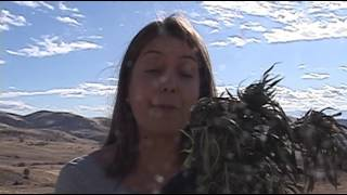 Sheriff says Siskiyou County is overwhelmed with illegal marijuana grows