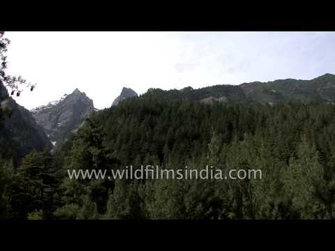 Pine forest en route Lamkhaga Pass, Himachal Pradesh