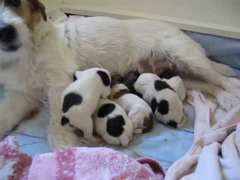 jack russell chili s newborn puppies   youtube