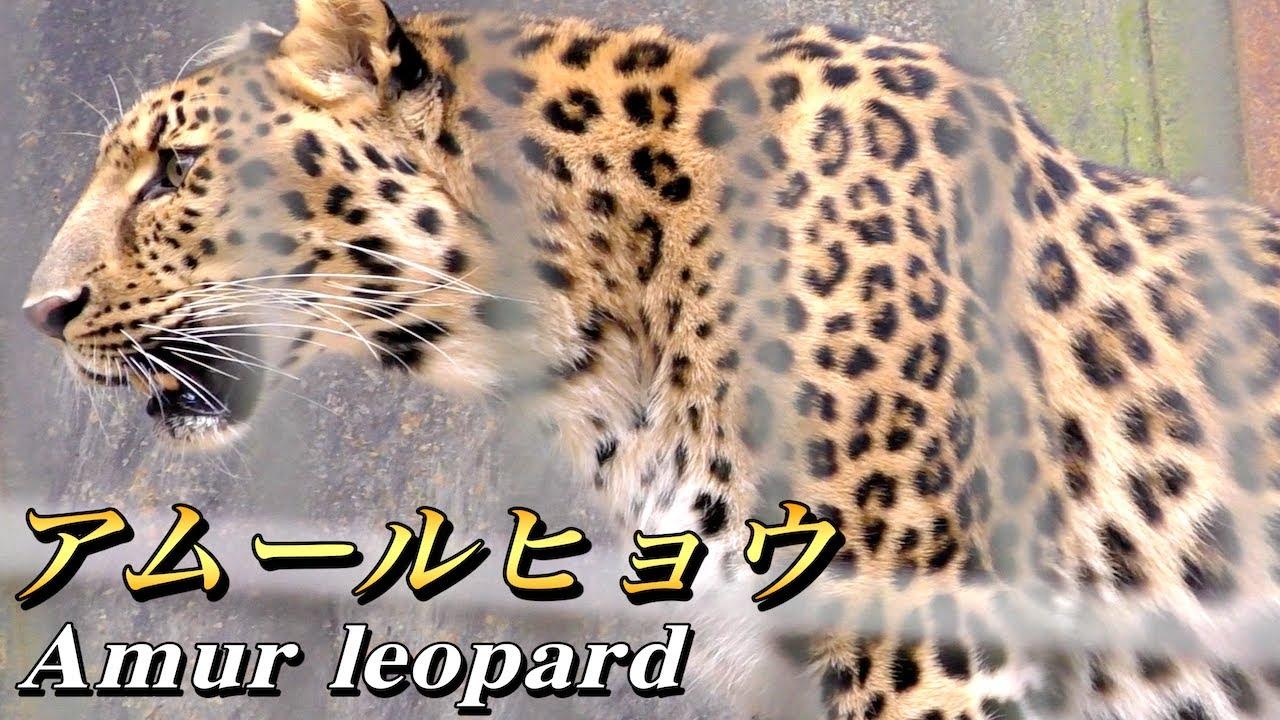 ヒョウの画像 p1_12