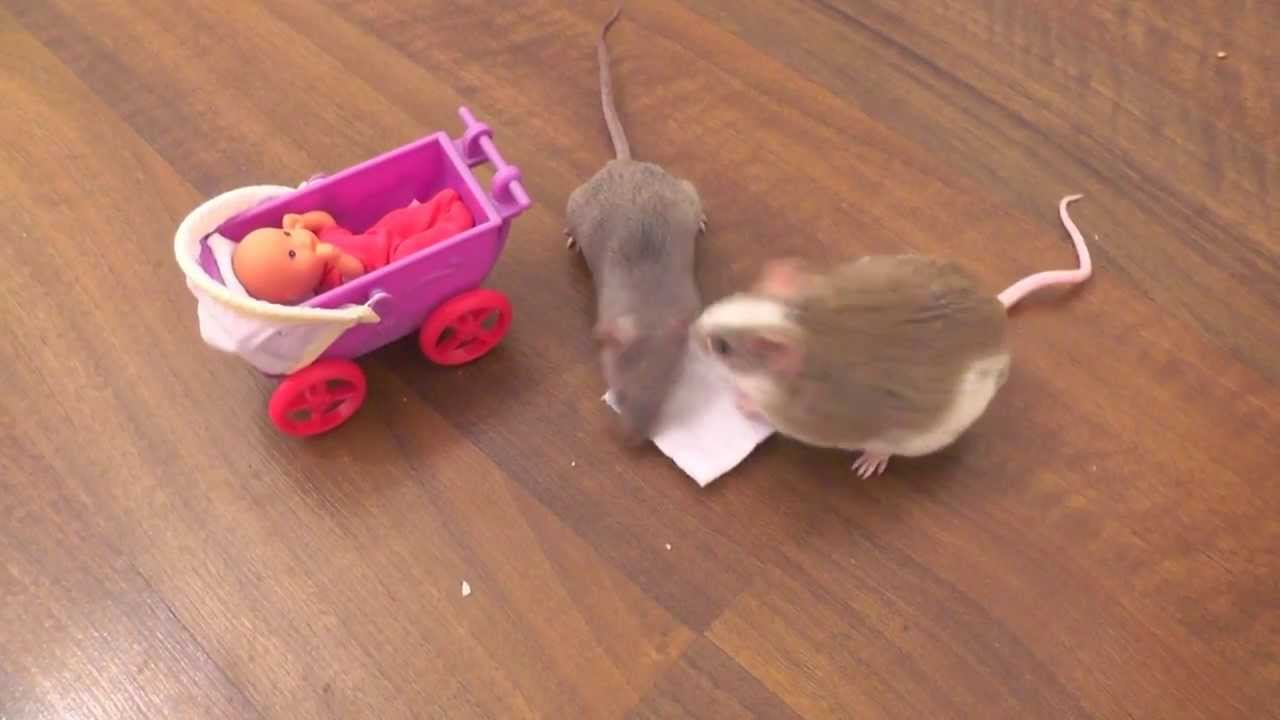 how to teach mice tricks
