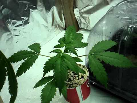 cfl/t5 grow/ and homemade hydroponic system with cloner