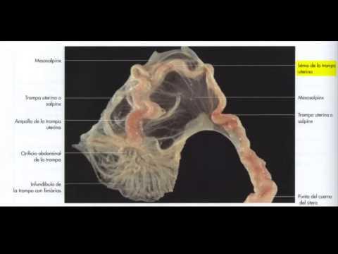 Descripción sistema reproductor femenino en perra