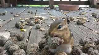 Squirrel Cam- The Chipsters look for the Perfect acorn!