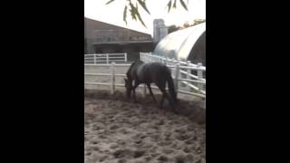 Wonderful Black Race Horse Training