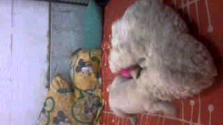 playing with my baby frank my horny labrador dog ahehehe