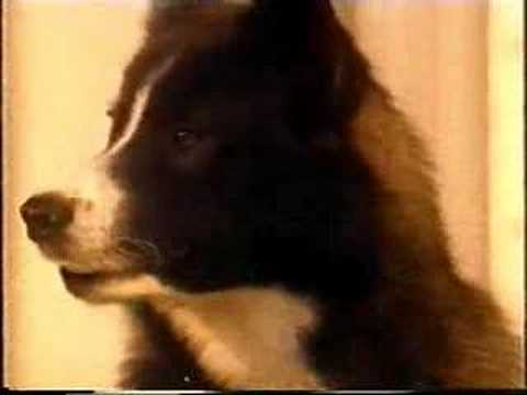 Smartest kiwi sheep dog you might ever see Video