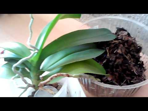 Как омолодить орхидею Фаленопсис. Из одного цветка делаем два