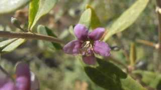 BAYAS DE GOJI: Lycium barbarum (http://www.riomoros.com)