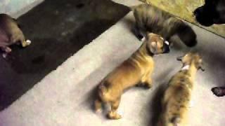 chienne boxer educant ces chiot superbe!!!!!!!