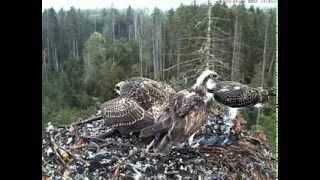 Kalakotkas 2 - Osprey nest, Estonia 20th August 2013 17.54 Fish delivery by Ilmar to Kenno