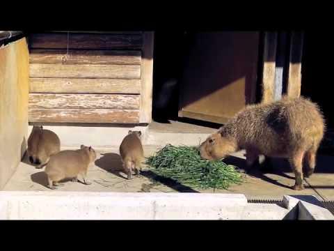 市川市動植物園の仔カピたち