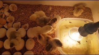 Gà Nở - Kết Quả Máy Ấp Trứng tự chế