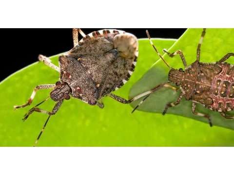 Pest Control: How to Get Rid of Stink Bugs