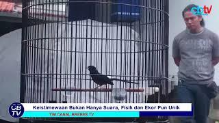 Download video Inilah Kitaro, Murai Batu Yang Bikin Jokowi Kesengsem