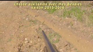 Chasse aux lapins saison 2015-2016 aux chiens courants (Beagles)