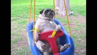 Pugs Are Awesome Compilation