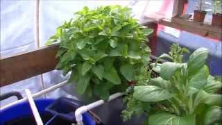 Aquaponics Growing Lemon Balm, Catmint, Assorted Mint : How to With Herbs