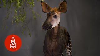 The Only Relative of the Giraffe Looks Like a Zebra