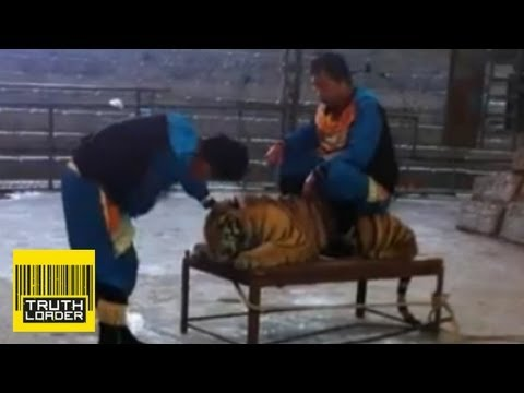 Shocking video of tiger abuse in zoo in China - Truthloader