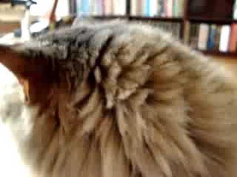 chatty Maine Coon cat Video