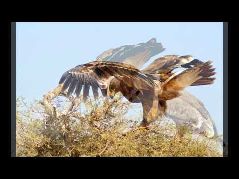 Griffon Vultures are the Europe's largest bird