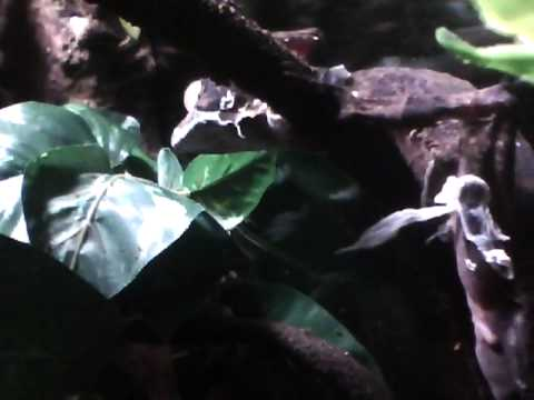 Giant Leaf Tail Gecko (Male) Video