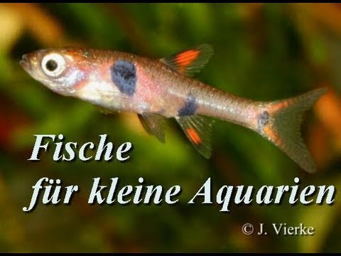 Fische f r kleinaquarien nano aquarien 1 teil youtube for Aquarium fische arten
