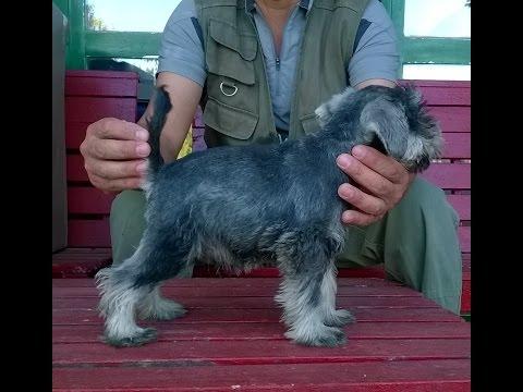 Cachorritos schnauzer miniatura de Riberbox