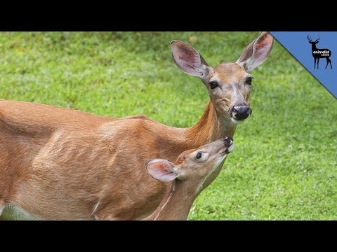 Mama Deer Hear Other Animal Cries for Help