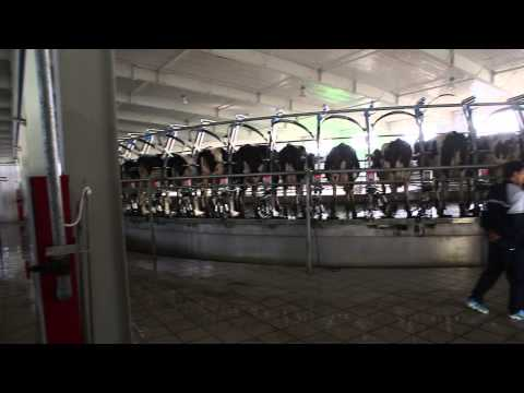 Waikato Milking Systems 2 Side by Side Milking Platforms for Mengniu, China
