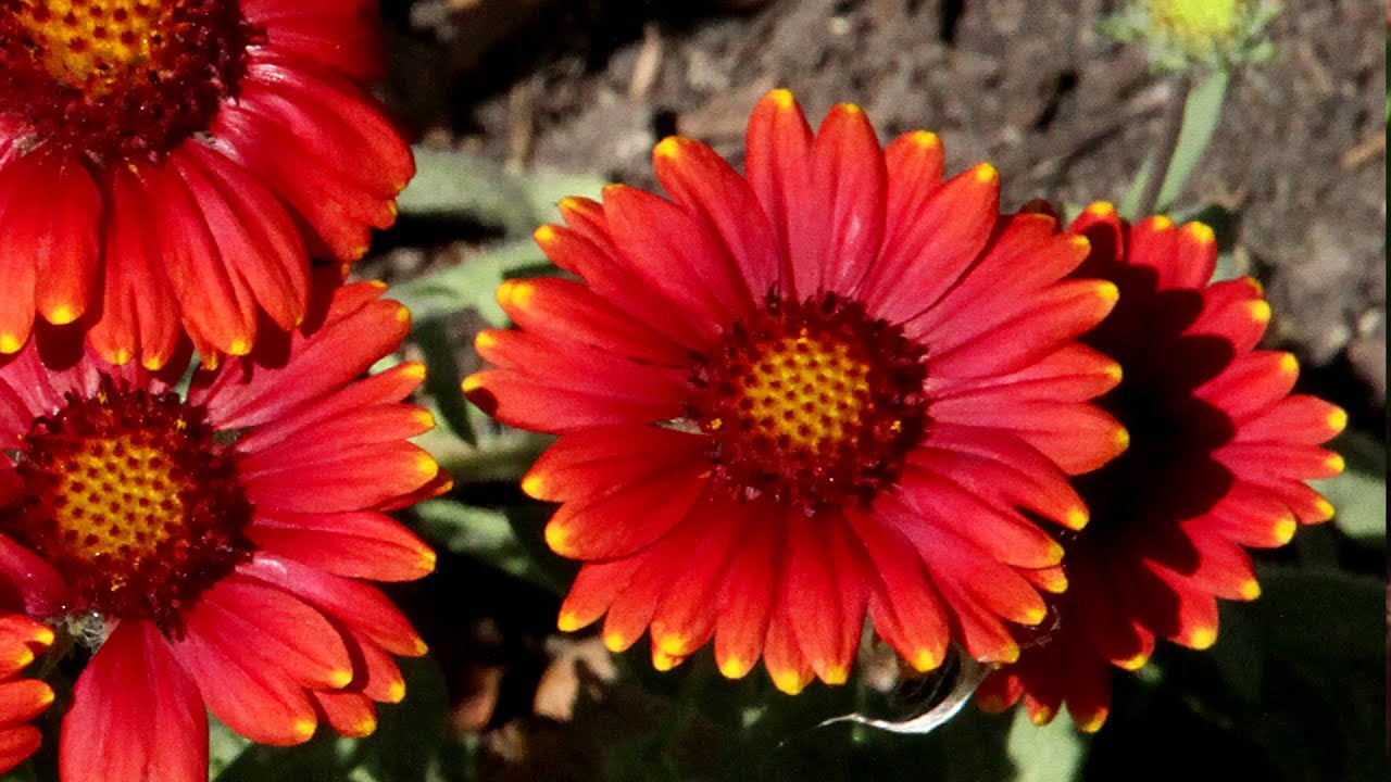 Pictures of blanket flower How to Grow, Care for Blanketflower Perennial Flowers, Growing