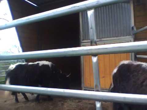 Kühe auf der kamelfarm Allgäu