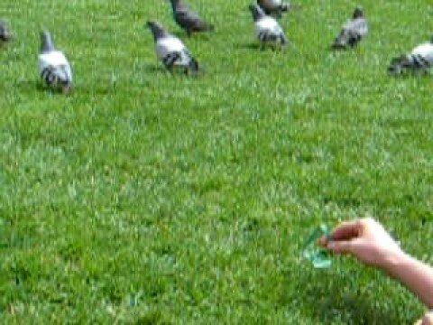 caccia ai piccioni a pisa!!