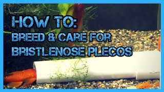 How To: Care and Breed Bristlenose Plecos