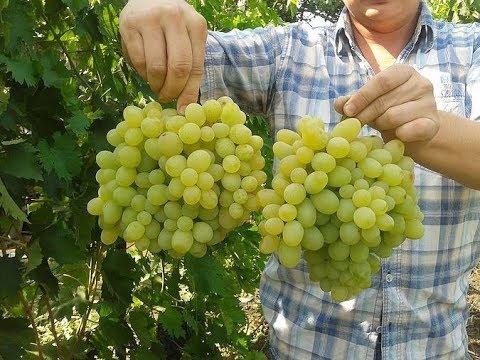 Уход за виноградом подарок запорожья 51