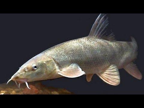 Как засолить пряным посолом рыбу марена. | How to pickle spicy salted fish madder.