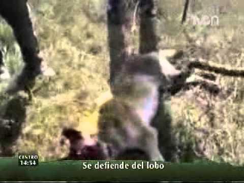 Lobo ataca a mujer que defendi ó a su ternero